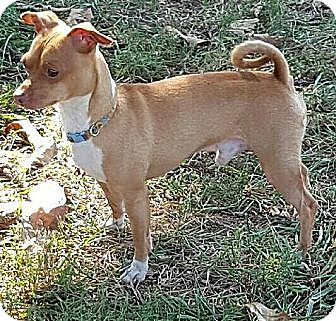 Chihuahua Mix Dog for adoption in Foster, Rhode Island - Stewie ($200 adoption fee)