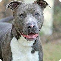 American Staffordshire Terrier Mix Dog for adoption in Tallahassee, Florida - SMEAGLE