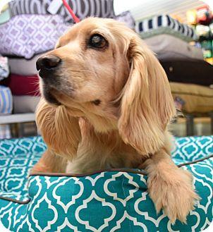 Cocker Spaniel Dog for adoption in Austin, Texas - Sarah