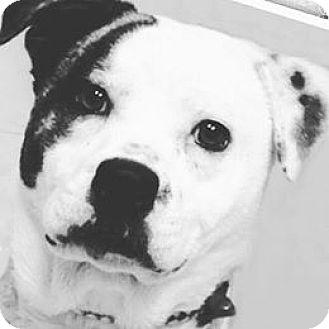 American Bulldog/Staffordshire Bull Terrier Mix Dog for adoption in Effort, Pennsylvania - Buster