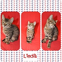 Domestic Shorthair Kitten for adoption in Harrisonburg, Virginia - Linda