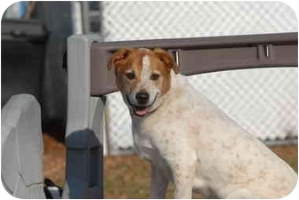 Labrador Retriever/Cattle Dog Mix Dog for adoption in Ft. Myers, Florida - Cooper