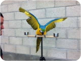 Macaw for adoption in Fountain Valley, California - Sammy
