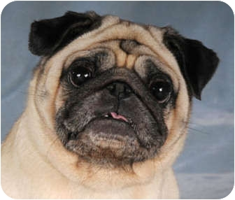 Pug Dog for adoption in Chicago, Illinois - Bunny & Eveready