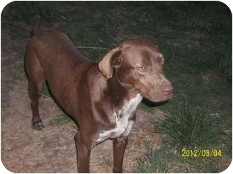 German Shorthaired Pointer/Labrador Retriever Mix Dog for adoption in Farmingtoon, Missouri - Daisy