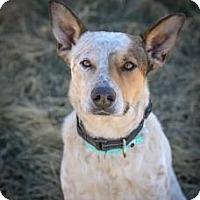 Adopt A Pet :: Cowboy - Cheyenne, WY