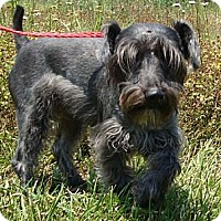 Adopt A Pet :: Ace - Staunton, VA