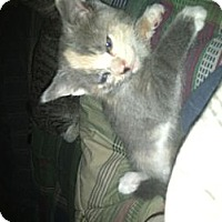 Adopt A Pet :: OLDER KITTEN'S - Clay, NY