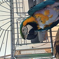 Macaw for adoption in Punta Gorda, Florida - Magoo