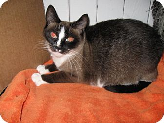 Domestic Shorthair Cat for adoption in Oakland, Oregon - Felicia