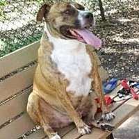 Boxer/Terrier (Unknown Type, Medium) Mix Dog for adoption in Miami, Florida - Mack