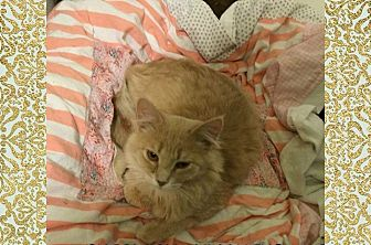 Domestic Mediumhair Cat for adoption in MADISON, Ohio - Shakespeare