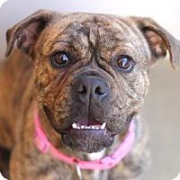 Adopt A Pet :: FELICIA - Kyle, TX