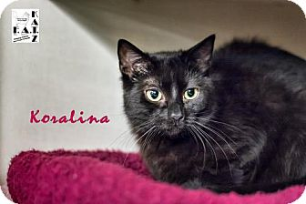 Domestic Shorthair Cat for adoption in Albuquerque, New Mexico - Koralina