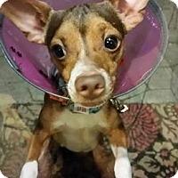 Adopt A Pet :: Little Jackson - Garden City, MI