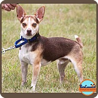 Chihuahua/Beagle Mix Dog for adoption in South Bend, Indiana - Peanut Butter