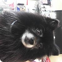 Adopt A Pet :: Tux - LAKEWOOD, CA