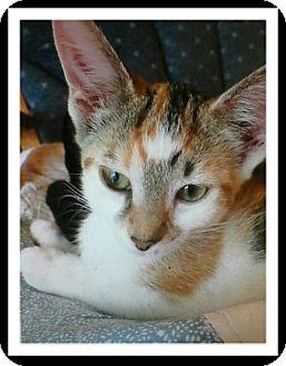 Calico Kitten for adoption in Trevose, Pennsylvania - Kenzie