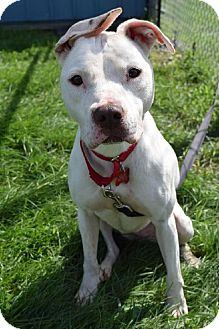 American Bulldog Mix Dog for adoption in Valparaiso, Indiana - Reese