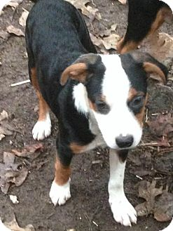 Chesapeake Bay Retriever/Border Collie Mix Puppy for adoption in Allentown, Pennsylvania - Lexy
