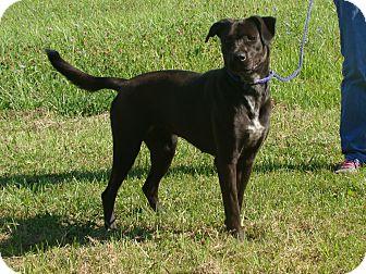 Labrador Retriever/Hound (Unknown Type) Mix Dog for adoption in Cameron, Missouri - Chelsea