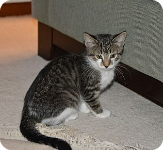 Domestic Shorthair Kitten for adoption in Middleton, Wisconsin - Ivy