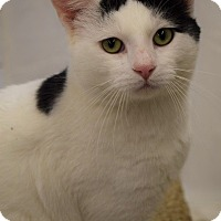 Domestic Shorthair Cat for adoption in Naperville, Illinois - Moo-GREEN EYES & CUDDLY