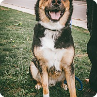 Adopt A Pet :: Bear - Mississauga, ON
