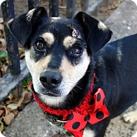 Miniature Pinscher/Beagle Mix Dog for adoption in Westerly, Rhode Island - Nana PinBea