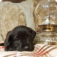 Adopt A Pet :: Champ - Kirkland, QC