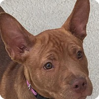 Pit Bull Terrier Mix Puppy for adoption in Crestline, California - Bella