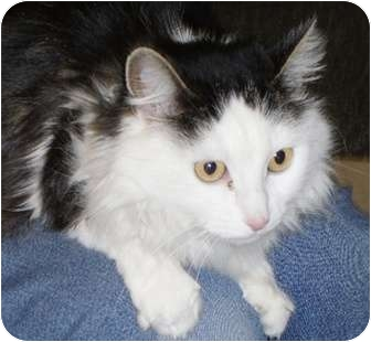 Domestic Longhair Cat for adoption in North Highlands, California - Anney