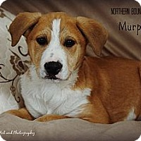 Adopt A Pet :: Murphy - Southington, CT