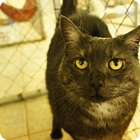 Domestic Shorthair Cat for adoption in East Smithfield, Pennsylvania - Ghost