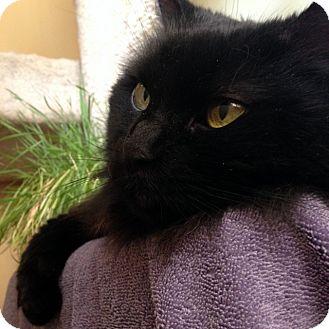 Domestic Longhair Cat for adoption in North Las Vegas, Nevada - Sheeba