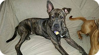 Shar Pei/Pit Bull Terrier Mix Puppy for adoption in Mira Loma, California - Kensie in TX