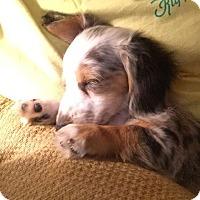 Adopt A Pet :: *Little Lovey - PENDING - Westport, CT