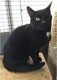 Domestic Shorthair Cat for adoption in Columbus, Ohio - Punkin