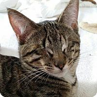 Adopt A Pet :: Jinx - Arlington/Ft Worth, TX