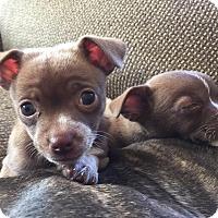 Adopt A Pet :: Marie - Newtown, CT