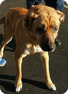 Shar Pei/Labrador Retriever Mix Dog for adoption in Ladera heights, California - QUEENIE