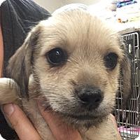 Adopt A Pet :: Sabado - Fort Collins, CO