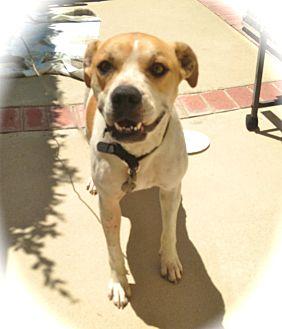 Boxer/Labrador Retriever Mix Dog for adoption in Los Angeles, California - Precious Dolly-URGENT