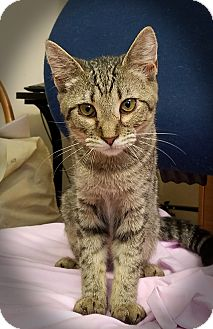 Domestic Shorthair Kitten for adoption in Trevose, Pennsylvania - Olympia