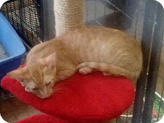 Domestic Shorthair Kitten for adoption in Glendale, Arizona - Garfield