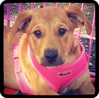 Labrador Retriever/Shepherd (Unknown Type) Mix Puppy for adoption in Grand Bay, Alabama - Jillian