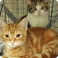 Adopt A Pet :: Darla and Rory, Adorable Angels - Brooklyn, NY