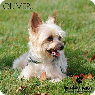 Silky Terrier Mix Dog for adoption in Council Bluffs, Iowa - Oliver