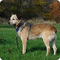 Blue Heeler Dog for adoption in Freeport, Illinois - Copper