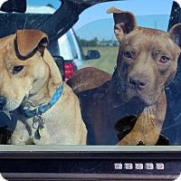 Adopt A Pet :: Zoey Grace - Glastonbury, CT